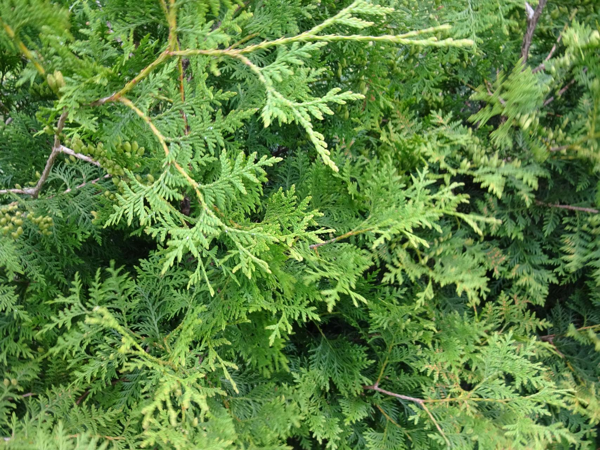 80cm im Topf immergrüne  Heckenpflanzen Thuja Smaragd 30st