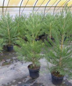 Mammutbaum Sequoiadendron giganteum
