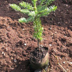 Weihnachtsbaum - Jungpflanzen