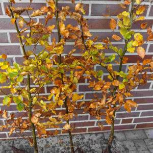 Forstpflanzen / Laubgehölze